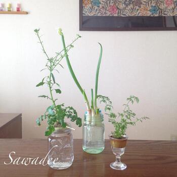 リボベジは土や鉢など、家庭菜園のようにいろいろ準備する必要もありません。余った瓶やプラスチック容器などに水を張って、野菜のヘタを入れるだけで育っていきます。省スペースでできるので、窓際などのちょっとした場所でも楽しめます。