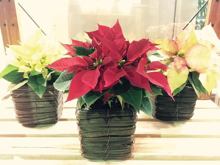 日当たりのよい場所を好むポインセチアは、季節に合わせて育てる場所を変える必要があるため、鉢植えで育ててあげましょう。水やりは春~夏はたっぷりと、冬場には控えめでOK!  ☑育て方:鉢植え ☑環境:日当たりのよい窓辺 ☑水やり:朝~午前