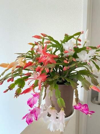 花言葉「美しい眺め・愛される喜び」  サボテン科スクルンベルゲラ属。ブラジル原産で、19世紀にヨーロッパに渡りました。デンマークで品種改良され、かの地では「デンマークカクタス」「クリスマスカクタス」と呼ばれて真冬の窓辺をあかるく彩ります。