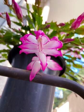 冬に近づいて日照時間が短くなるにつれて蕾が増え、次つぎに開花します。和名は、茎の節が節足動物のシャコに似ているとして付けられました。