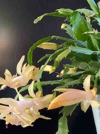 シャコバサボテンは1.2年に1度、春に根鉢をくずして植え替えが必要。新芽が出たら摘み取ってあげると、花芽がつきやすくなりますよ。  ☑育て方:鉢植え ☑環境:春~秋→日当たりのよい場所・秋~冬→明るい日陰 ☑水やり:春~秋→たっぷりと・秋~冬→ほとんど必要なし