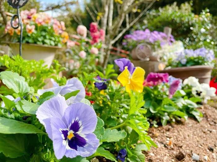 単体で植えたり、寄せ植えをして花壇を作ったりと、他の植物と組み合わせてもかわいいパンジー。水やりは土が乾いてきたらたっぷりと与えてあげるのが上手に育てるコツです。  ☑育て方:地植え・鉢植え ☑環境:日当たりのよい場所 ☑水やり:朝~午前