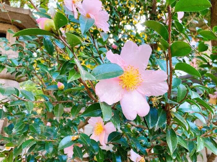 サザンカにきれいな花をつけるためには、しっかりと日に当ててあげることが大切。枝が密集しやすいため、1年に1回程度剪定をすることで丈夫に育てていくことができますよ。  ☑育て方:地植え(寒い地域は鉢植え) ☑環境:日当たりのよい窓辺 ☑水やり:たっぷりあげる