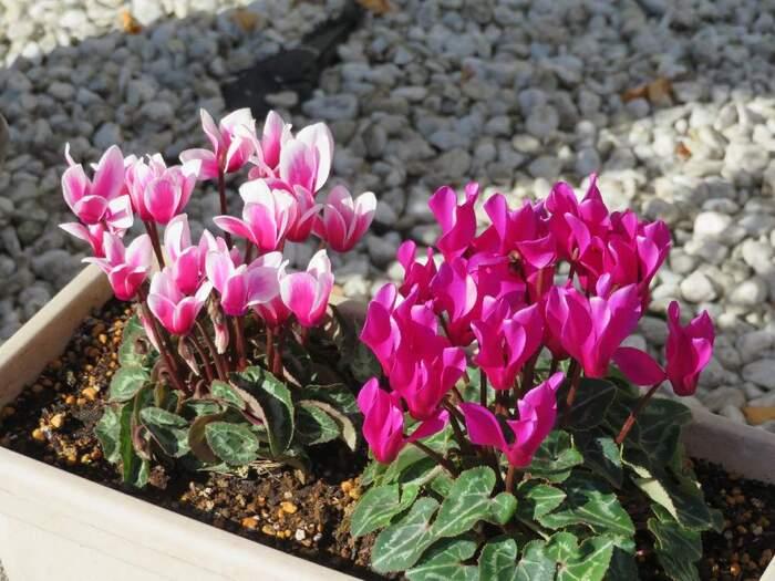 花言葉「遠慮・気後れ・内気な恋・はにかみ」  シクラメンは北アフリカ~ヨーロッパの地中海沿岸にかけてを原産とする宿根草(多年草)。赤やピンク、白など、冬に彩りを与えてくれるお花です。
