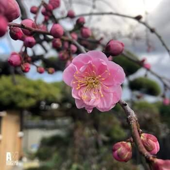 暑さ、寒さに強い梅は初心者さんにも育てやすい植物。庭木として植えた梅には水やりの必要もないため、手間をかけずに育てることができるんです。  ☑育て方:地植え・鉢植え ☑環境:日当たり・水はけのよい窓辺 ☑水やり:ほぼ必要なし