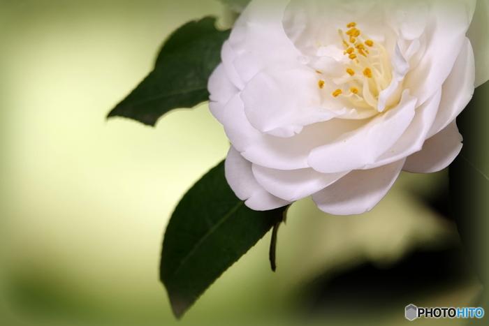白いツバキの花言葉は「完全なる美しさ・申し分のない魅力」 ココ・シャネルに愛され、ロゴ「カメリアマーク」のモチーフとなった花としても知られています。