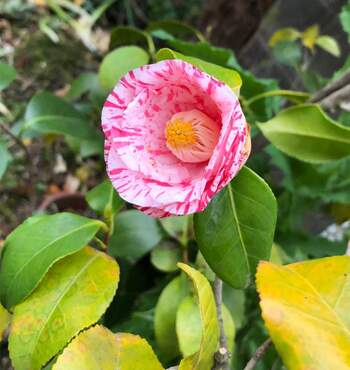 木の寿命が長いツバキは、どんな環境でも育ちやすいのが特徴。植えて2年の間は土が乾いたらたっぷりをお水を。その後は水やりの必要はありません。  ☑育て方:庭植え・鉢植え・盆栽 ☑環境:西日の当たらない半日陰 ☑水やり:朝or夕方