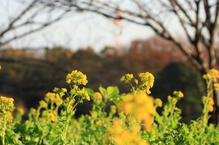 """花言葉「小さな幸せ・豊かさ・財産」  少し暖かさを感じるようになってきたころに顔を出す、春を告げる菜の花。その名の通り""""お花""""だと思っている人も多いかもしれませんが、実はアブラナ科の""""野菜""""なんです。"""