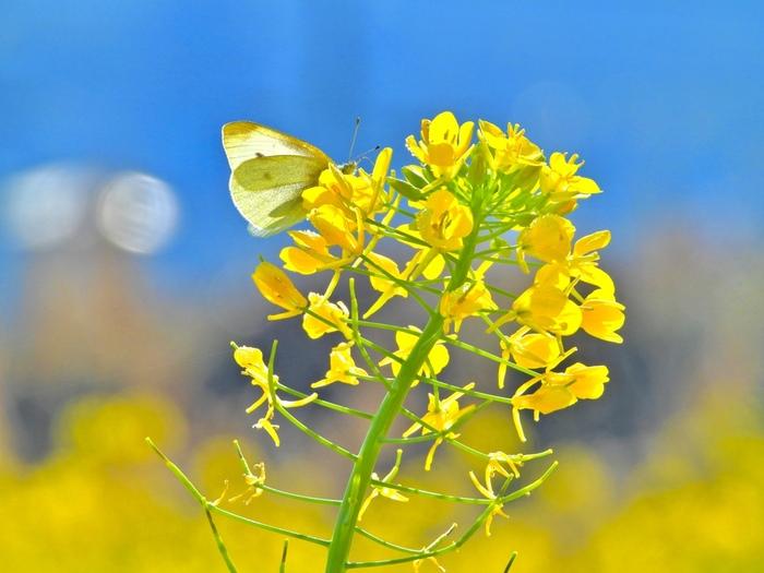 プランターで手軽に栽培できる菜の花は、ベランダなどのガーデニングにもぴったり。アブラナ科の植物は害虫がつきやすいので、薬剤を使うなどこまめに対処してあげることが大切です。  ☑育て方:庭植え・鉢植え・プランター ☑環境:日当たりのよい場所 ☑水やり:土が乾いたら