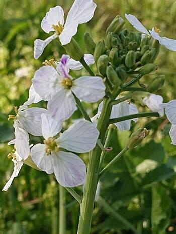 菜の花は色によって花言葉が異なります。白い菜の花の花言葉は「潔白」。また日本ではあまり見ることはありませんが、紫色の菜の花の花言葉は「知恵の泉・優秀・聡明」です。