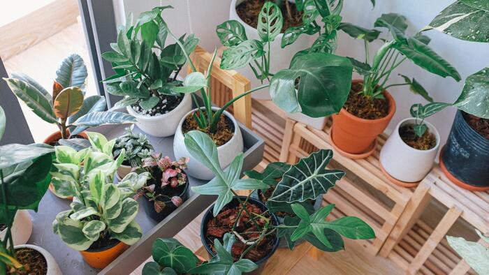 観葉植物は育てやすいため、お部屋に置いている人も多いはず。お部屋に観葉植物を置くことで、室内の湿度を快適に保ち、さまざまな有害物質を除去してくれるそう。また、空気中の二酸化炭素を代謝して酸素を出してくれるため、呼吸がしやすくなるメリットも。なにより、グリーンは、視覚的にもリラックス効果があるため、近くに置いておくだけで心が安らぐはず。今回は、おすすめの観葉植物を3つご紹介します。