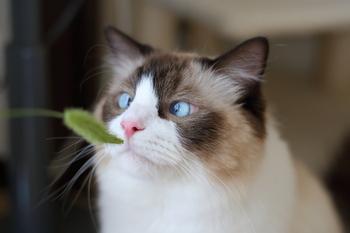 遊ぶためだけなら、植物の猫じゃらしでも問題ありません。誤飲に関しても、健康な猫ちゃんなら特に問題ないと言われています。ただし、胃腸が弱い猫や老猫は要注意!体調を崩してしまう可能性もあるので、十分に気を付けながら遊ばせる必要があります。