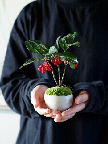 お正月の飾りに使われるなど古くから縁起のいい植物として親しまれてきたヤブコウジ。色鮮やかな真っ赤な実が美しく、一つあるだけでお部屋が華やかになりますね。
