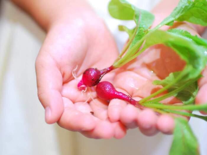 葉っぱも捨てずに、食べられる*『ラディッシュ(二十日大根)』人気レシピ30選