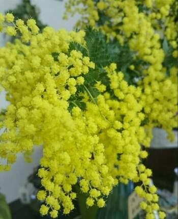 一番黄色が鮮やかなのは、やっぱり生花の状態。きれいなミモザが手に入ったら、出来るだけ長く楽しみたいですよね。花瓶に入れる前の一手間でお花の持ちが長くなるので、しっかりと下準備をして飾る様にしましょう。