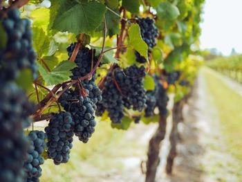 アルコールを抑制する方法には、「発酵の元となるぶどうの糖分を減らす」「発酵を途中で止める」「アルコールを生成しない酵母を使う」といった製法があります。このようなノンアルワインは果汁の味が際立つのが特徴です。