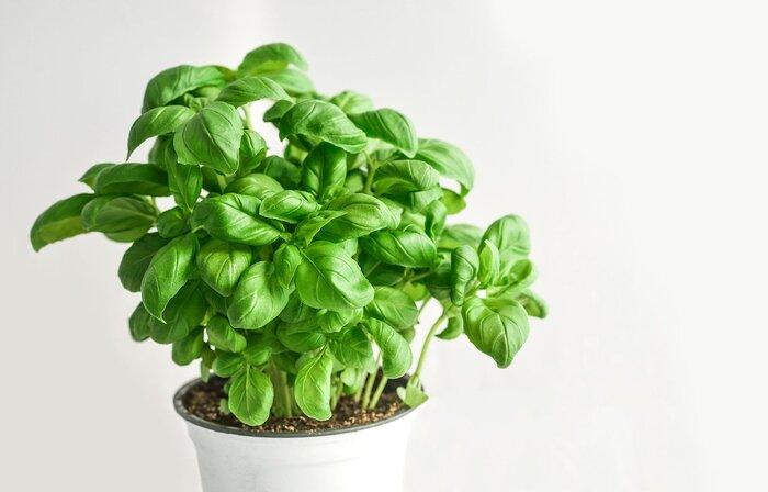 初めての方におすすめのバジルやミントなどのハーブ。強い香りは虫が苦手なので、比較的害虫がつきにくく、葉の成長も早いので育てやすいと言われています。最初は、通気性の良いテラコッタや素焼きの鉢で育てるのがおすすめ。ハーブはいくつもの種類があり、好ましい環境も違うので、寄せ植えは避けましょう。