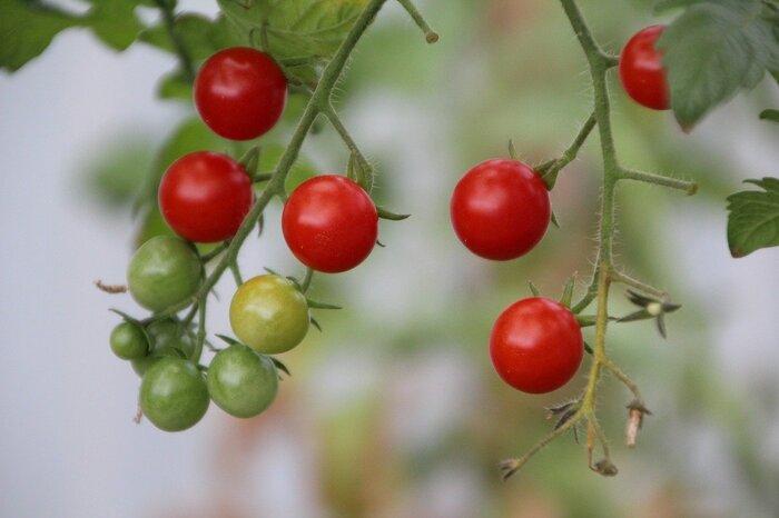 家庭菜園といえばミニトマトと言われるほどのポピュラーな野菜。春に植えて、夏から秋に収穫する、日当たりを好む夏野菜です。苗を購入する際は、つぼみや花が付き始めた、葉の緑が濃く厚みのある苗を選びましょう。茎が長く伸びながら花と実を付けていくため、成長に合わせて支柱を用意しましょう。