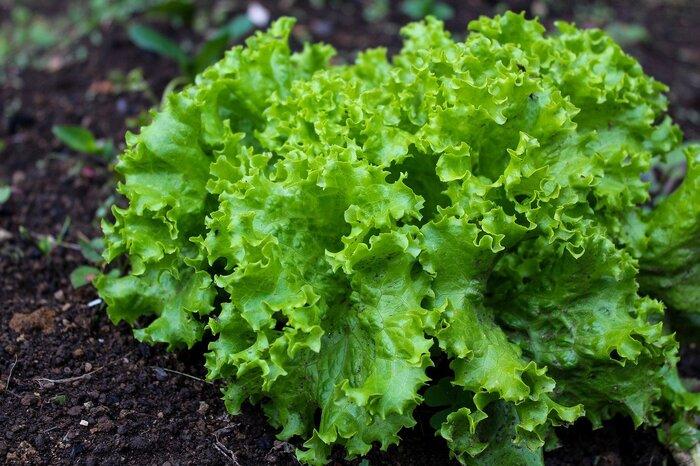 苗から30日で収穫できるリーフレタス(サニーレタス)。小松菜と並ぶほど育てやすい野菜と言われています。種まきは春先と夏の年2回可能。株の成長とともに葉もどんどん上に育っていくので、外葉から一枚ずつ取るようにすれば、2か月間ほどいつでも新鮮な葉を収穫できることも。栽培中に間引きした小さな葉はベビーリーフとしても食べられ、育てる楽しさを存分に感じさせてくれます。