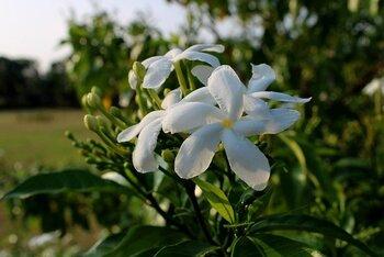 ジャスミンはクレオパトラが愛した花。あらゆるアロマの中でも特に気持ちを高めてくれる花です。心の支えとなり、気持ちを上げてくれ自信も与えてくれます。機械で一気に収穫するハーブとは違い、女性たちが朝から手でひとつひとつ丁寧に収穫をしています。華やかでアジアらしい香りのため、日本人に人気の香り。アロマディフューザーや、リードディフューザー(スティックタイプ)で常に部屋に香らせると良いでしょう。