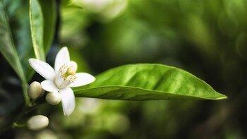 ネロリはビターオレンジの花から採れる香りのため、フラワー調だけでなく柑橘系の香りもするリフレッシュできる香りです。長期にわたってかかるストレスや深いストレス向き。ネロリはアロマの中で唯一、実在した人物の名がつけられています。遠くから嫁いできた妻へ、少しでも寂しくないようにと夫がビターオレンジの花から抽出したのが始まり。歴史的にも、落ち込みを和らげるところから始まっている香りなのです。