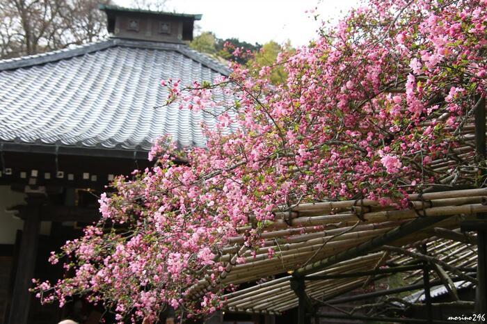 """さらに、寺社仏閣や名所旧跡だけでなく、庭園や別荘、美術館や美術館といった文化施設、古くからあるホテルや教会といった歴史的建造物も、町中、ここかしこに大小様々に残っています。寺社では、折々に祭事や神事が行われ、季節の花々も咲き開いては、季節を繋いでいきます。  【先の「長谷寺」に北側で接する「光則寺」は、日蓮上人が「立正安国論」を幕府に差し出した場所として有名な寺。""""花の寺""""としてもよく知られ、特に例年4月上旬に咲く樹齢1200年と伝わる、本堂前の""""花海棠""""が見事。鎌倉市の天然記念物に指定されている。】"""
