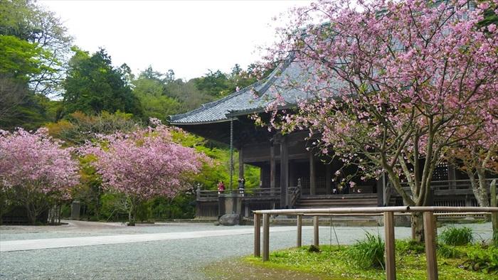 """外部から眺めれば、由緒ある寺社仏閣や名所、観光スポットが数多に点在する国内有数の人気観光地でも、ここ鎌倉は、多くの観光客を受け入れながらも、他の地域同様、人々が日々暮らしを営む""""生活の場""""です。  【鎌倉駅から徒歩7,8分、比企谷(ひきがやつ)にある「妙本寺」は、1260年創建の日蓮宗最古の寺院。祖師堂前に咲き開く、春の桜と花海棠、夏の凌霄花(ノウゼンカズラ)が有名。本堂や二天門、祖師堂等堂宇が並ぶ、広い境内は、緑多く、静やか。鎌倉の中にあって、拝観料なく入れる寺院の一つで、近隣住民の散策の場となっている。】"""