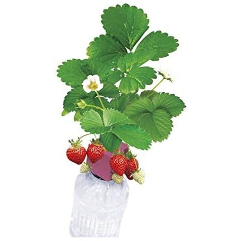 聖新陶芸グリーントイ 四季なりいちご ペットボトルで育てる栽培セット