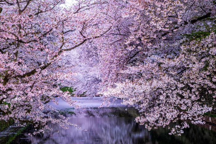 この作品は、陽一と七海が生きる現在と、食堂の初代・賢治が生きる時代が交互に登場します。時を超えた人々の想いや運命に心温まる物語です。ぜひ、弘前の美しい桜の景色を思い浮かべながら読んでみてください*