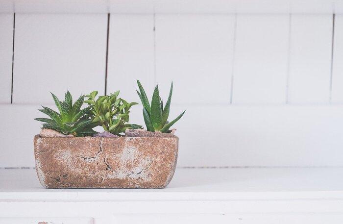 アロエベラは、基本的には屋外でも屋内でも栽培できる植物です。太陽を好むので、屋内なら日当たりのいい窓際がおすすめのポジション。屋外で栽培する場合でも、気温が10℃前後になるときは室内に移動させてください。  水やりは、夏は土の表面が乾いたタイミングで。冬は2週間~1カ月に1回くらいの頻度で、鉢底から流れ出るくらいたっぷり水をあげてください。  *アロエベラは葉肉に水を蓄えられるので、少々水をやり忘れても大丈夫です。反対に、水をやりすぎると根腐れしてしまうので、注意してくださいね。