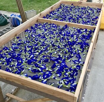 インドの伝統医学・アーユルヴェーダでは、古くから精神安定などに効果のあるハーブとして重宝されています。  一方原産国のタイでは、ハーブとして親しまれています。乾燥させた花から鮮やかな青色を抽出し、お茶やジュース、料理、染色など、生活に密着したものとして活用されています。  日本では主に、美しい青色を抽出したハーブティー「バタフライピーティー」としての愉しみ方が代表的ですよね。