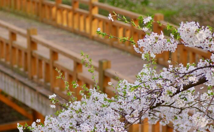 自宅で春を感じる♪「おうち花見」を楽しもう!