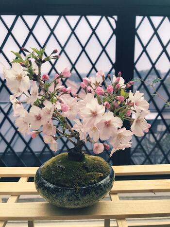 桜の盆栽は、本物の桜の木を眺めているかのような気分に浸れます。自然の美しさや生命力も感じることができるので、より自宅で花見気分を盛り上げたい方にはおすすめですよ。