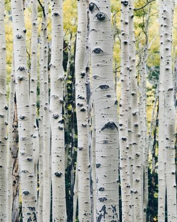 ククサの基本的な素材には、冷たい北欧の風の中で育った白樺のコブ(バハカ)か使われています。保護のために樹液でカバーされたこのバハカは、なんと育つまでに約30年もの歳月がかかるとても貴重なもの。 木の温もりを感じる柔和なデザインと手触りは、この素材によって叶えられているんです。