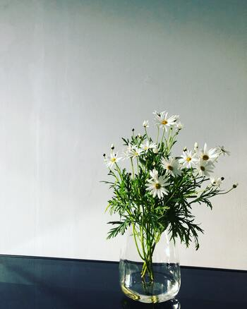 シャスターデージーは、公園や道路脇にも咲いています。黄色い花芯を白い花びらが取り囲んだシャスターデージーは「好き、嫌い……」と呟きながら花びらをちぎる恋占いでおなじみの品種です。