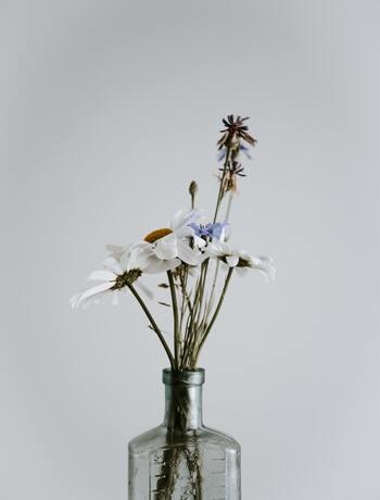 よく似た花にマーガレットやフランスギクがありますが、基本的にマーガレットは自生することはないそうです。シャスターデージーは花もちがよく、適度に水替えを行っていればかなり長く楽しめます。