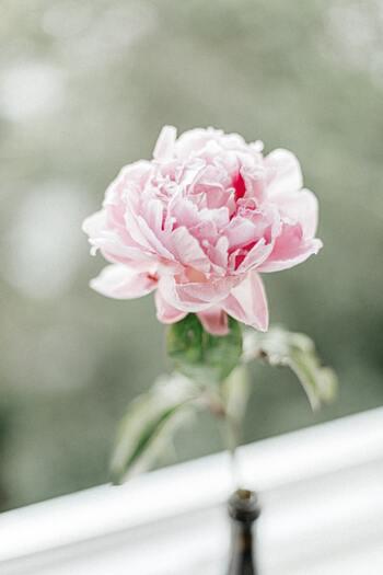 ラナンキュラスには、たくさんの種類があります。ツバキのようなカメリア咲き、シャクヤクみたいなピオニー咲き、カーネーションに似たフリンジ咲き、そしてバラのように咲くカール咲きなど、さまざまな咲き方のある面白い花です。
