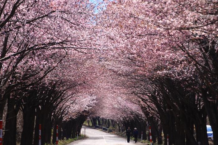 弘前市の中心部から西に向かった場所にある「岩木山総合公園」の脇には、その名も「世界一の桜並木」があります。両脇に立ち並ぶ桜がいっせいに咲き、桜のトンネルができると人気のスポットです。全長が20kmほどの道に並ぶのは、なんと約6500本もの桜。かなり広範囲で標高差もあるため、エリアで少しずつ見頃が異なります。