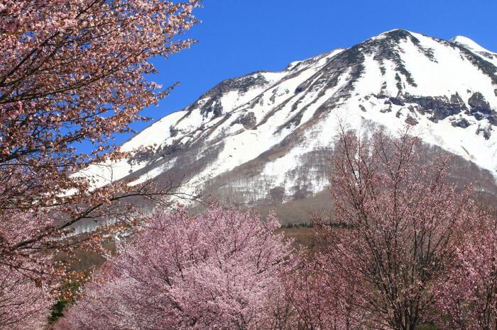 弘前から向かって総合公園裏までのあたりが、桜の木の間隔が狭いので見応えがあります。さらに進むにつれて岩木山が近づき、雪を抱く岩木山と満開の桜という、日本らしい春の絶景に出会えます。ソメイヨシノよりも少し色の濃いオオヤマザクラが咲いており、例年の見頃は4月の下旬から5月上旬にかけてです。
