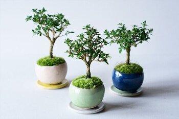 小さな鉢植えに小さな樹木が育つ、和テイストの鉢植えです。丈夫なので育てやすく、枝先には純白の花が咲きます。職人による手作りの鉢植えは、3色から好みのものを選べるのも魅力ですね。