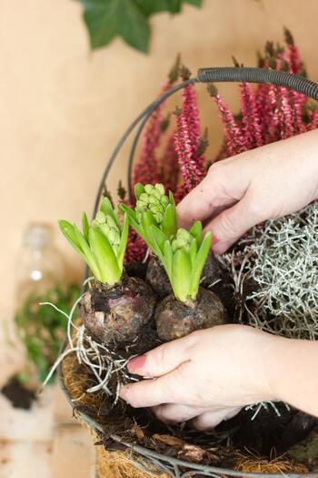 """お花を楽しんだ後のちょっとしたコツで、来年のための球根を太らせることができますので、継続してケアしていきましょう。  ・咲き終わったお花の部分だけを取り除く。 ・""""お礼肥""""と呼ばれる、お礼の気持ちを込めた肥料を与える。 ・葉はそのまま枯れるまで大事に残しておく。"""