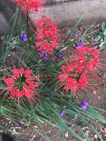 秋のお彼岸の頃に咲くヒガンバナはなじみがあるのではないでしょうか。古くから日本に自生している花で、別名をリコリスと言います。6月~8月にかけてが植え付けの時期です。暑さや寒さに強く害虫の心配もほとんどなく、初心者でも育てやすいお花なのでぜひトライしてみてください。