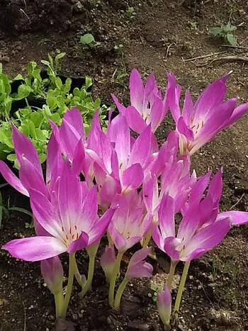 """コルチカムは、サフランの花と似ているのでイヌサフランと呼ばれることもある種類です。8月~9月に植え付けをしますが、10月までなら大丈夫です。球根が大きいのと、葉がたくさん生えるので、スペースに余裕を持って植えましょう。寒さにも暑さにも強く、冬でも屋外で育てることができます。しっかりと水やりをして、日当たりの良い場所で育てましょう。  コルチカムの花は""""危険な美しさ""""という花言葉もあるように、とても美しい花です。ただ、危険といわれるように、球根をはじめ地上部分も含めて強い毒性があるので、間違って食べることのないように気を付けてください。死に至った例もあるため、家庭菜園などを行っている場合は、食用と間違えないようにスペースを工夫して扱いましょう。"""