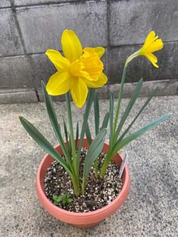 球根を植えるときには、出っ張った部分を土から少し出して植えるのがコツです。花が咲きづらくなるので、球根は一ヶ所に多く入れ過ぎないようにしましょう。また、スイセンの葉や球根には毒があるので、、誤って食べないように注意が必要です。特に葉はニラそっくりなので十分に気を付けてください。