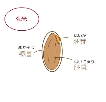 白米に比べて、糠層や胚芽が付いている「玄米(精米する前の米)」のほうが、養豊富。美容に欠かせないビタミンも、白米より、玄米のほうがたっぷり。  「玄米を構成しているもの」は、 ●胚芽…米の芽・根になる部分のことで、全体の2%ほど。ビタミン(B1、B2、E)、食物繊維、ミネラルなどを含む。 ●胚乳…玄米のほとんどを占める、お米の本体部分(白米は、この胚乳100%)。主にデンプン。 ●糠層…果皮・種皮・糊粉層からなる、全体の5%ほど。  ◎予備知識として:胚乳と糊粉層の間にある糠皮に付着する「亜糊粉層(あこふんそう)」が、お米の旨みをつかさどる物質です(アミノ酸が豊富)