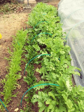 """植えたらすぐ収穫♪今年こそ始めたい""""1ヵ月で収穫できる""""簡単「野菜」作り"""