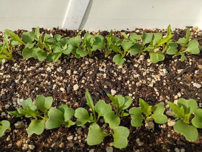 発芽した野菜たちは可愛い!と愛着が沸きやすいのですが、「間引き」は野菜を大きく育てるうえで大切な工程です。弱々しいもの、過密になっているところは優しく抜き取るようにしましょう。