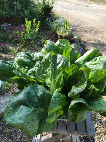 高菜とは、アブラナ科の葉物野菜。高菜の旬は「冬」です。  高菜と同様に、美味しいごま油炒めでお馴染みの野菜、「カラシナ」の変種にあたります。  日本では古くから栽培されており、なんと平安時代にはすでに栽培が始まっていたといわれています。現在の産地は、九州が代表的です。