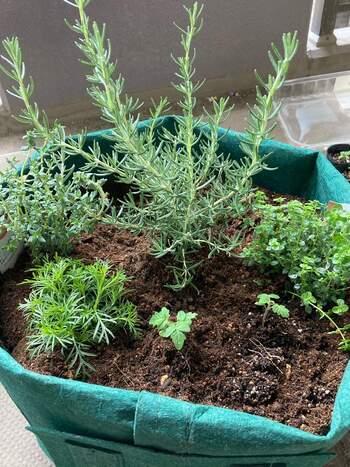 フレッシュハーブやドライハーブにしても料理に使いやすくておすすめなハーブは、パセリやバジル、ディルやタイム、オレガノにローズマリーといったところでしょうか。 どのハーブも春に植えればぐんぐん成長し、上手に育てれば何年も楽しませてくれます◎