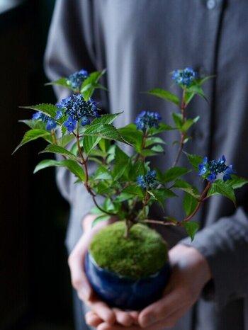 鉢植えなら小さなものがおすすめです。こちらは「ヤマアジサイ」という、ガクアジサイを繊細にしたような品種。葉も花も小ぶりなので、手のひらサイズの鉢に納まります。玄関やリビングに飾るには、ちょうどいいサイズ感。  風水では、鉢は自然素材のものが推奨されています。陶製や木製のものなら、よい運気をよびこめそうですね。